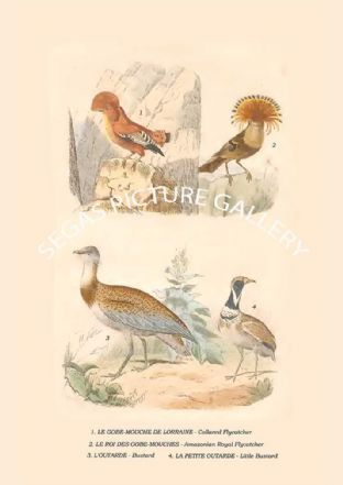 Collared Flycatcher, Amazonian Royal Flycatcher, Bustard, Little Bustard